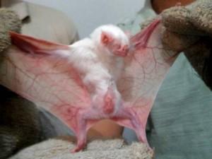 Raro morcego vampiro albino foi capturado em ação da Adepará. Foto: Divulgação/ Adepará