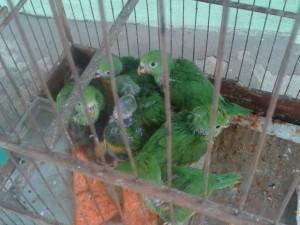 Periquitos estavam engaiolados. Foto: Polícia Ambiental/ Rondonópolis-MT