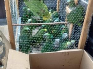 Filhotes de papagaio encontrados. Foto: 3ª Companhia de Polícia Ambiental de Gurupi/ Divulgação