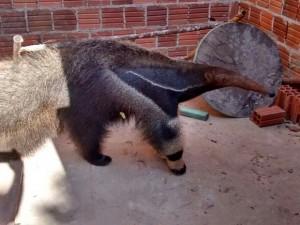 Animal foi resgatado por Polícia Ambiental e equipe do zoológico. Foto: Divulgação/Polícia Militar Ambiental