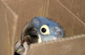 Filhotes de arara-azul encontrados em casa em Aparecida de Goiânia. Foto: Reprodução/ TV Anhanguera