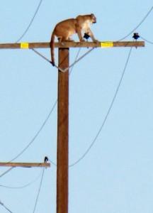 Puma foi flagrado no alto de poste de energia elétrica em Lucerne Valley. Foto: Peter Day/The Victor Valley Daily Press/AP