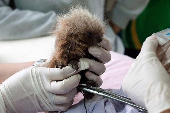 Filhote de ouriço: tratamento médico para que possa voltar ao hábitat natural