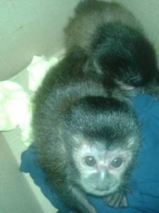 Três filhotes de macaco estavam em caixas no interior do carro. Foto: Divulgação/PM Rodoviária