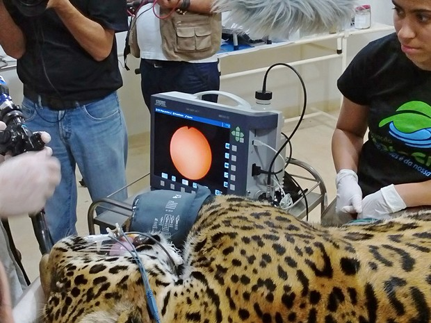 Animal terá que ser sedado para a colocação do colar de monitoramento (Foto: Divulgação/ONG Mata Ciliar)