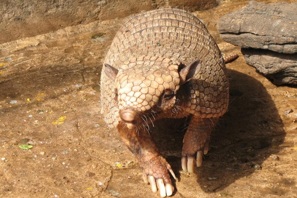 Além do Tatu-Bola, mais 38 mamíferos vivem na área onde havia sido criado o Refúgio. Foto: Wikipédia.