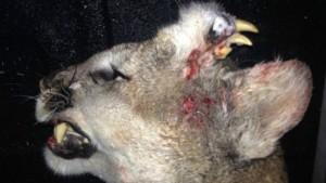 Animal abatido em Idaho apresentava dentes e até bigodes na testa. Foto: AP