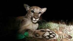 Pumas se aproximam das cidades durante o inverno, quando fogem do frio severo.  Foto: AP