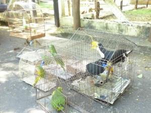 Aves silvestres eram capturadas em fazendas e levadas para a capital de MS.  Foto: Joanice Battilani/ Ibama