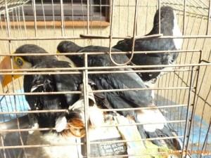 Três tucanos estavam presos em uma gaiola. Foto: Joanice Battilani/ Ibama
