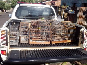 Foram apreendias 11 aves que eram mantidas em cativeiro. Foto: Polícia Ambiental/Cedida