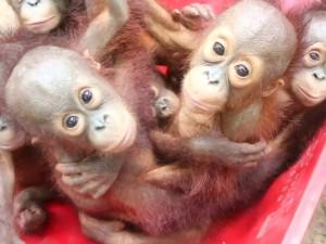 Orangotangos estão sendo preparados para voltar à vida selvagem. Foto: BBC