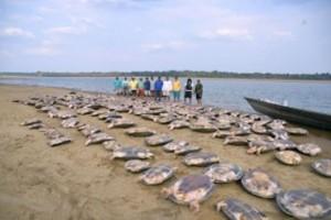 As tartarugas foram regatadas antes da ação de traficantes no baixo Rio Branco, ao Sul de Roraima. Fotos/imagens: Mário Júnior/Secom