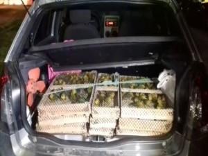 Aves eram transportadas dentro de caixotes no porta-malas do carro. Foto: PRF/Divulgação