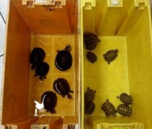 Alfândega afirma que animais estavam embalados em caixa dos Correios. Foto: Divulgação/Receita Federal