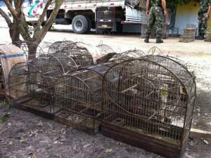 Centenas de aves foram apreendidas nesta manhã. Foto: Polícia Ambiental/Divulgação