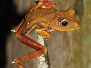 Espécie 'Hypsiboas diabolicus' foi descoberta por pesquisadores na Amazônia. Foto: Iepa/Divulgação