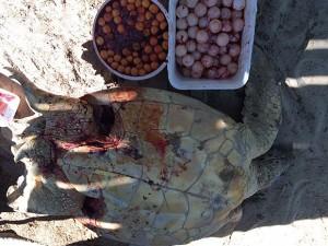 Cento e cinquenta ovos foram retirados da tartaruga morta na Bahia. Foto: CETAS Porto Seguro /IBAMA