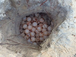 Ovos de tartaruga ferida em Porto Seguro foram aproveitados. Foto: CETAS Porto Seguro /IBAMA