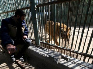 Tigre em zoológico na Faixa de Gaza é um dos animais que o dono, o palestino Mohammad Oweida, não consegue mais alimentar. Foto: Ibraheem Abu Mustafa/Reuters