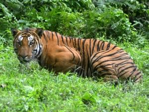Tigre é visto no Kaziranga National Park, na Índia, em foto de 21 de dezembro de 2014. Foto: STR/AFP