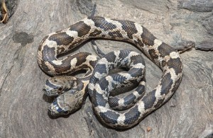 O fotógrafo Jason Talbott conseguiu capturar uma cobra de duas cabeças, que encontrou no Kansas, Estados Unidos. Foto: Jason Talbott/Caters News