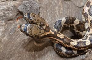 O fotógrafo percebeu que uma das cabeças da cobra, que chegou a atacar seu amigo, era mais agressiva que a outra. Mas ele notou também que a cobra perdia em 'eficiência' se as cabeças não agissem de forma coordenada. Foto: Jason Talbott/Caters News
