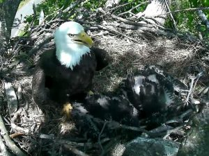 """A águia-careca """"The First Lady"""", mãe dos filhotes """"Freedom"""" e """"Libert""""y, é vista em seu ninho no U.S. National Arboretum, em Washington. Foto: Reprodução/DC Eagle Cam/U.S. National Arboretum"""