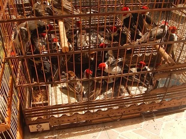 Aves da espécie galo de campina estavam entre os animais resgatados (Foto: Tenente Rodrigo Rodrigues/Polícia Ambiental)