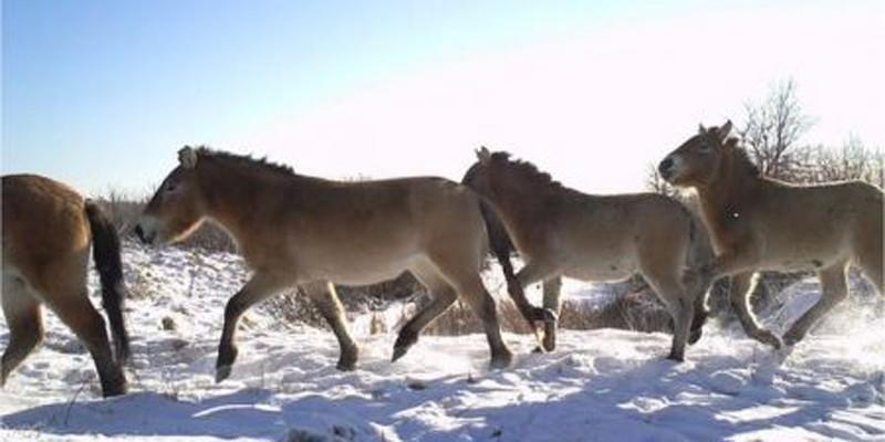 Os cavalos-de-Przewalski estão em extinção. Ainda assim, podem ser encontrados na Zona de Exclusão de Chernobyl (Foto: Reprodução/Universidade de Salford)