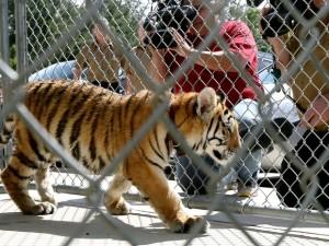 Tigre fêmea é vista em uma jaula do Abrigo de Animais da Cidade de Conroe, no Texas. Foto: Jon Shapley/Houston Chronicle via AP