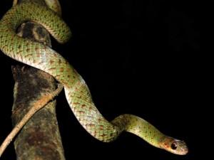 Cobra-Verde do Parque Augusto Ruschi em São José. Foto: Matheus Moroti/Divulgação