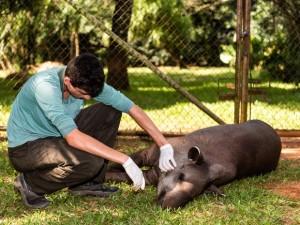 Técnica de anestesia desenvolvida durante o projeto de reprodução de antas evita que animal se machuque. Foto: Itaipu Binacional / Divulgação