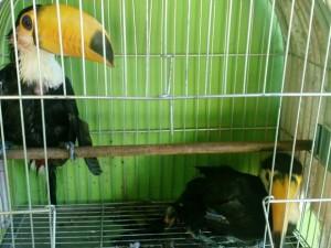 Filhotes de tucanos apreendidos em residência de jovem. Foto: Polícia Militar de Meio Ambiente/Divulgação
