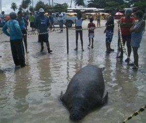 Peixe-boi foi encontrado morto na manhã desta terça-feira (26). Foto: Divulgação/Biota