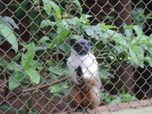 Sauim-de-coleira é oriundo da região de Manaus. Foto: Heloísa Casonato/G1