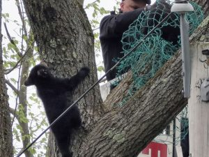 Filhotes de urso são resgatados em Gardener, Massachusetts. Foto: Paul N. DeMeo via AP