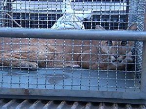 Onça foi capturada dentro de galinheiro em uma fazenda. Foto: Reprodução/TV Integração