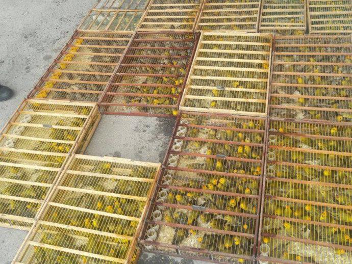 15 aves foram encontradas mortas, provavelmente devido a maus tratos ocorridos durante o transporte inadequado(PRF/Bahia/Divulgação)