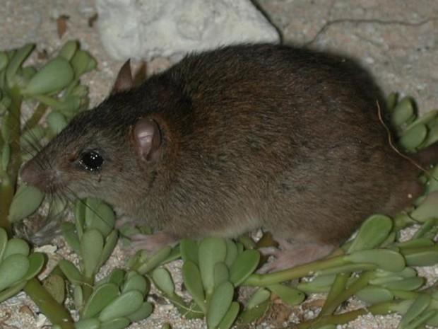 Roedor Melomys rubicola, vivia em Bramble, uma pequena ilha na Austrália (Foto: University of Queensland e Queensland Government/Divulgação)