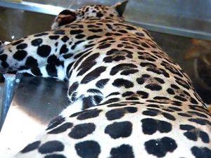 Corpo do animal foi doado para o campus da UFMT do município para pesquisas. Foto: Reprodução/ TVCA