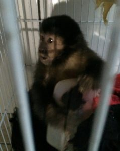 Macaco-prego apreendido pela operação. Foto: Polícia Militar e Ambiental/Divulgação