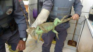 Uma das iguanas apreendidas pela Polícia Militar Ambiental. Foto: Polícia Militar e Ambiental/Divulgação