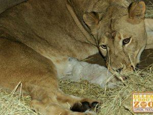 A leoa Adia amamenta seu filhote no Ellen Trout Zoo, em Lufkin, no Texas. Foto: Divulgação/Ellen Trout Zoo