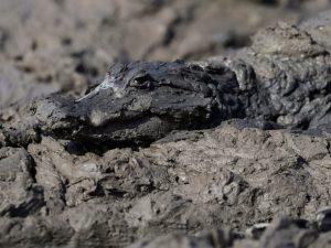 Jacaré é retratado na lama do rio Pilcomayo, na fronteira entre Paraguai e Argentina. Foto: Jorge Adorno/Reuters