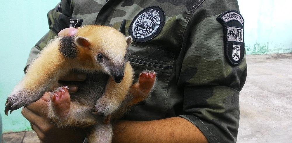 O filhote foi resgatado e encaminhado a um Centro de Reabilitação de animais silvestres para que possa ter condições de ser reinserido em seu habitat natural. (Foto: BPMA)