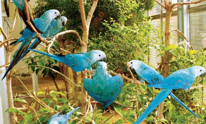 Ararinha-azul - Divulgação / Al Wabra Wildlife Preservation