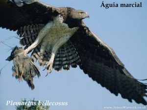 Imagem de uma águia marcial. Foto: James Warwick