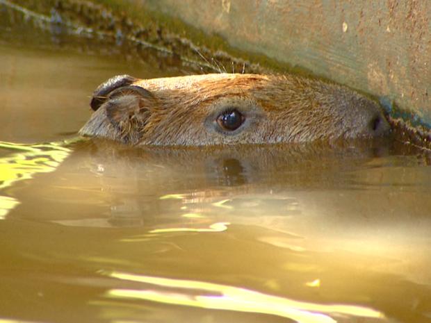Capivaras sob monitoração foram solta na Lagoa do Taquaral.  (Foto: Reprodução/ EPTV)
