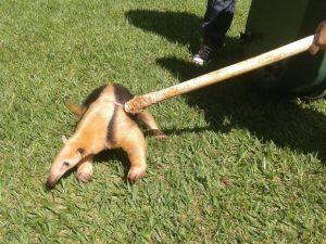 Tamanduá-mirim capturado no jardim da TV Integração em Uberlândia. Foto: Vanessa Pires/G1